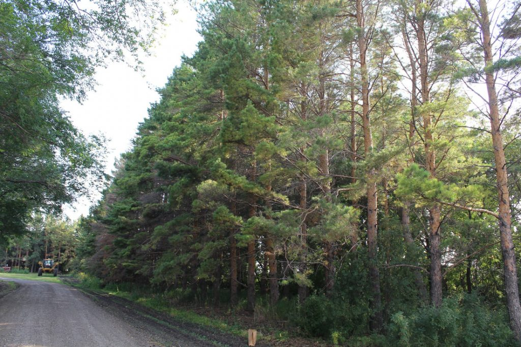 60-year-old Scots pine shelterbelt
